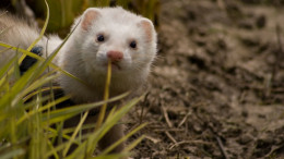 Photo by Tetting - Ferret in the garden