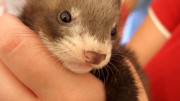 Photo by fahara - Baby ferret