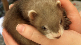 Photo by fahara - Young ferret