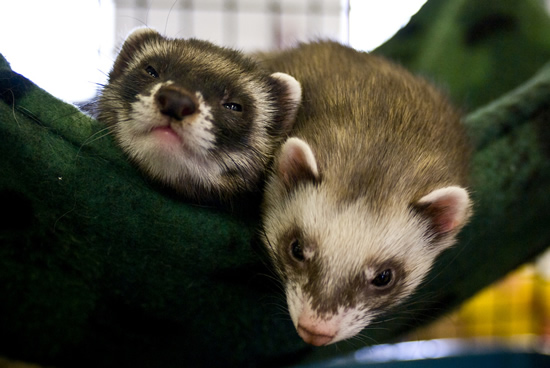 Photo by Stacy Lynn Baum - Two ferrets in a hammock