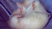 Photo by BenQ - Sleeping Albino Ferret
